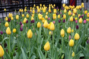 Tulips by the playgrounds at Madison Square Park. ©2015 Lucy Mathews Heegaard
