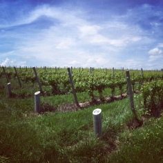 Vineyard at Ravines Wine Cellars in New York's Finger Lakes regions. Great dry Riesling!